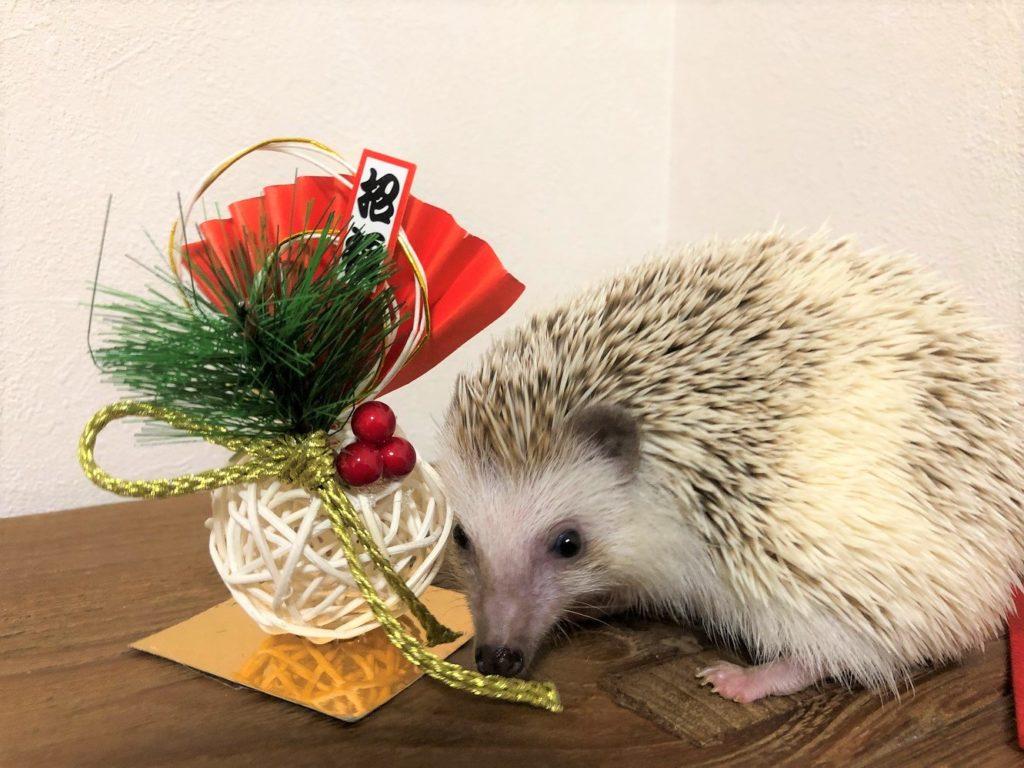 お正月(ハリネズミ)