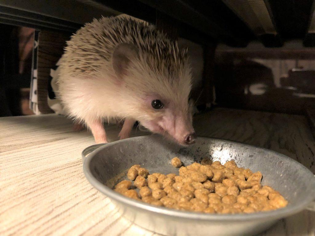 ごはん(ハリネズミ)