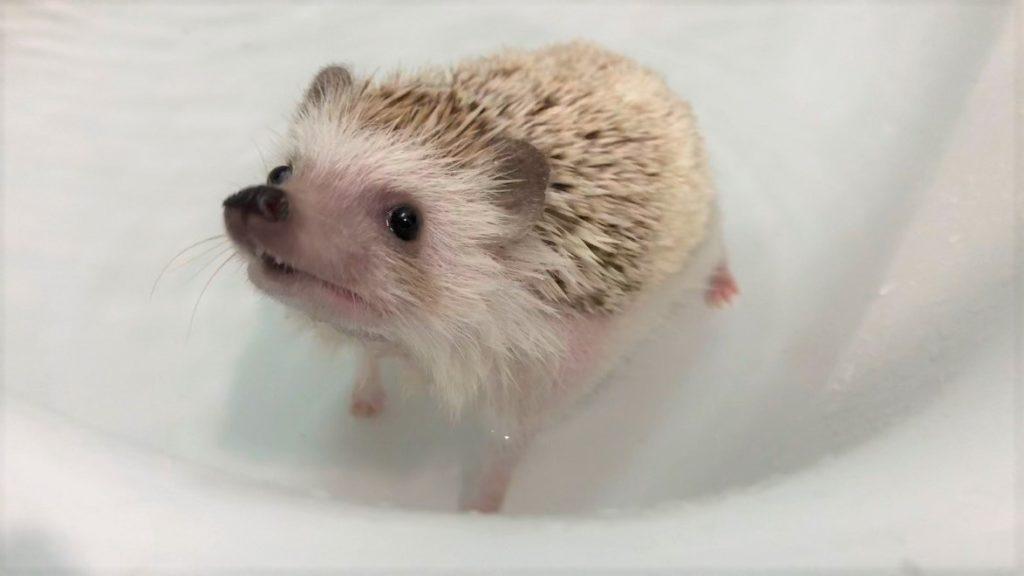 お風呂(ハリネズミ)