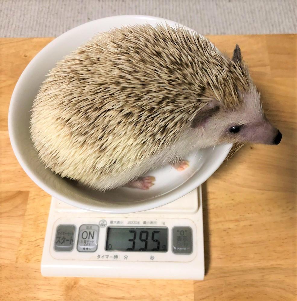 体重測定(ハリネズミ)